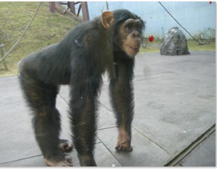 九州旅行で阿蘇カドリードミニオンで会えるチンパンジーのパン君