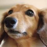 「モモ」と呼べばしっぽ振る?犬の名前ランキング発表、4年連続一位「モモ」ちゃんとは驚きです。