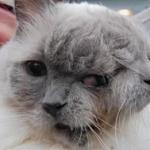 ギネス認定の双頭猫が12歳まで生きている理由とは?